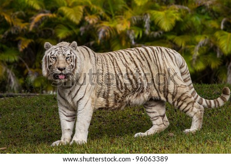 White bengal tiger walking - stock photo