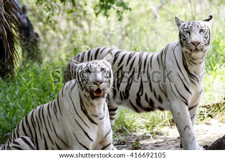 white Bengal tigers in a forest - stock photo