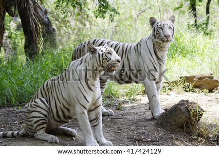 white Bengal tigers in the forest - stock photo