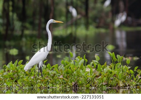 White big heron in Amazon river, in National reserve, Pacaya Samiria, Peru - stock photo
