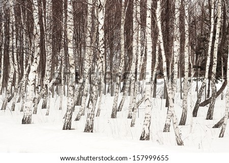 White birch trees in the snow