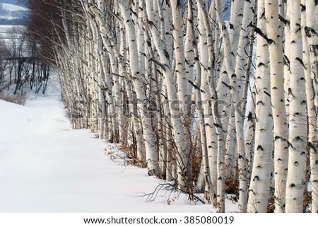 White birch with heavy snow at Memanbetsu, Hokkaido - stock photo