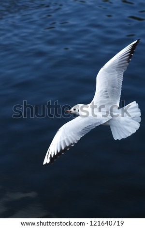 White bird in flight over a lake of blue water - stock photo