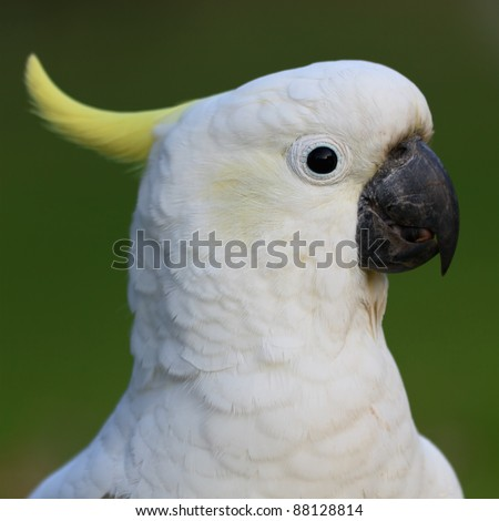 white bird parrot cockatoo head profile with green background portrait format - stock photo