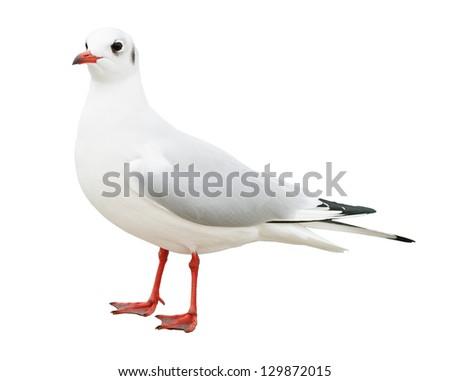 white bird seagull isolated - stock photo