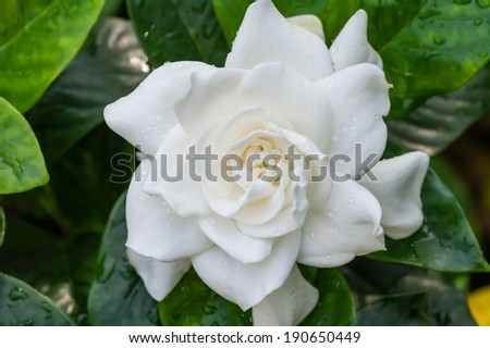 White blooming Gardenia flower with shiny green leaves - stock photo