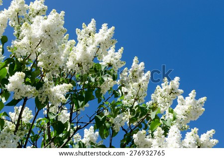 White blooming lilac in springtime - stock photo