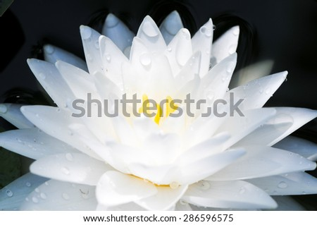 white blooming lotus - stock photo
