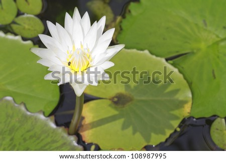 White blooming lotus with bee - stock photo