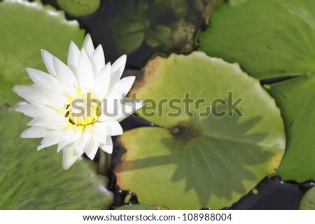 White blooming lotus with bee