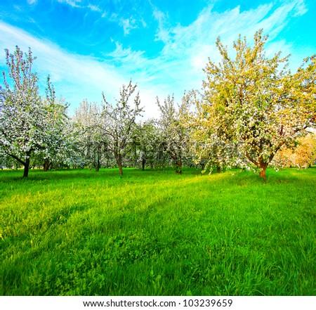 white blossom of apple trees in springtime - stock photo