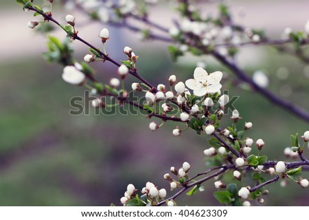 white blossom spring-flowers as a background. View with shallow depth of field  - stock photo