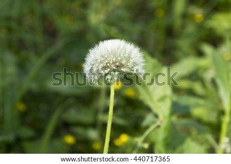 White blossomed fluffy dandelion and juicy summer grass. Summer herbaceous plants.