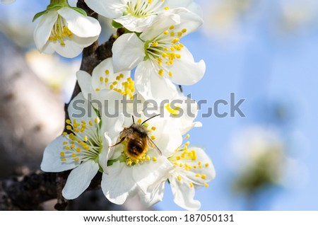 white blossoming flowers and bee on blue background - stock photo