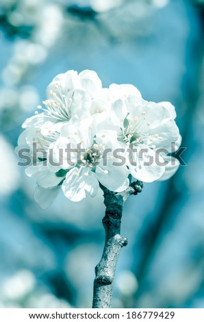 white blossoming flowers on blue background retro effect - stock photo