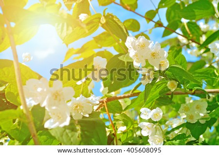 White blossoming jasmin flowers in the backlight under bright sunlight - summer natural background. Soft filter applied - stock photo