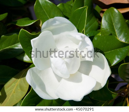 White blossoming magnolia in green leaves - stock photo