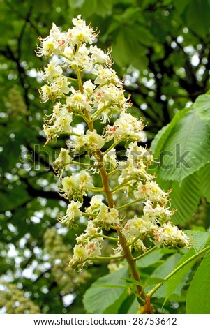 White blossoms of chestnut tree in May - stock photo