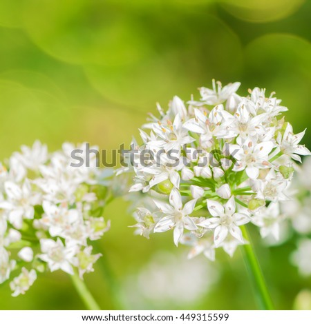 White blossoms of ornamental allium against blurred green background; Ornamental plants; Cottage garden - stock photo