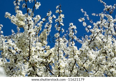 White blossoms on blue sky