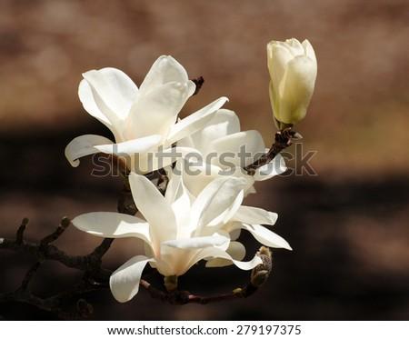 White blossoms on flowering magnolia tree - stock photo