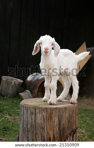 White Boer Goat Kid Standing On A Stump In The Barnyard