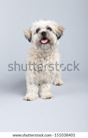 White boomer dog isolated against grey background. Studio portrait. - stock photo