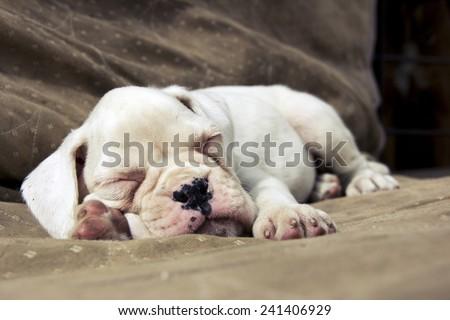 White Boxer puppy sleeping on the ground - stock photo
