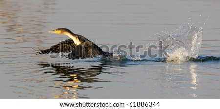 White-breasted cormorant take-off - stock photo