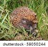 White-breasted Hedgehog (East European Hedgehog) Erinaceus concolor - stock photo