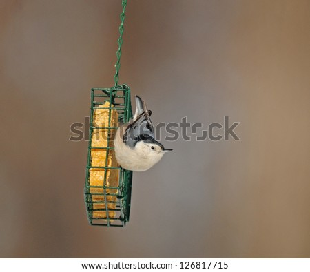 White-breasted nuthatch clinging to green basket suet feeder - stock photo