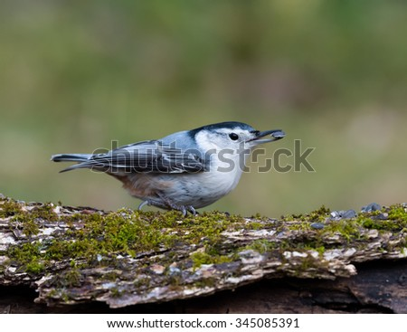 White-breasted Nuthatch in Fall on Green Background