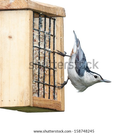 White breasted nuthatch looks away while eating on a suet feeder, white background - stock photo