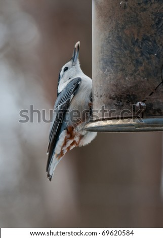 White breasted nuthatch (Sitta carolinensis)  eats sunflower seeds from the feeder - stock photo