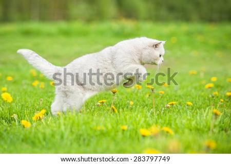 White british shorthair cat hunting on the field - stock photo