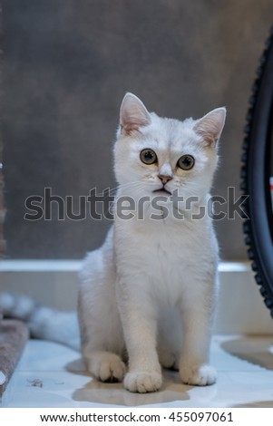 White British shorthair Cat in white gray looking with pleading stare at home in neon light with shadow. - stock photo