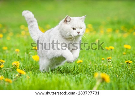 White british shorthair cat running outdoors - stock photo