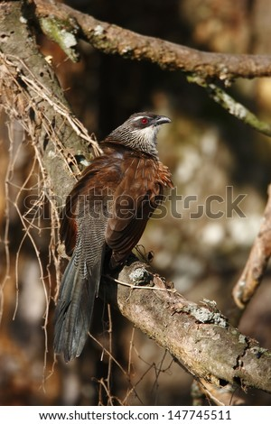White-browed Coucal - stock photo