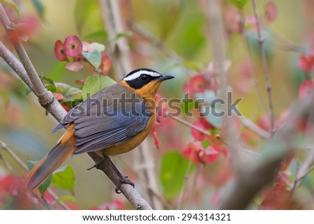 White-browed robin-chat (Cossypha heuglini) perched in a flowering bush - stock photo
