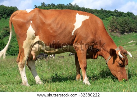 White-brown cow eating grass in the nature - stock photo