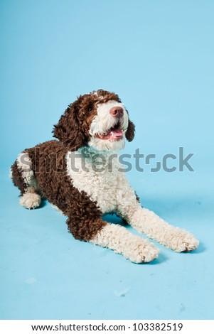 White brown spanish waterdog isolated on light blue background. Perro de Agua Espanol. - stock photo