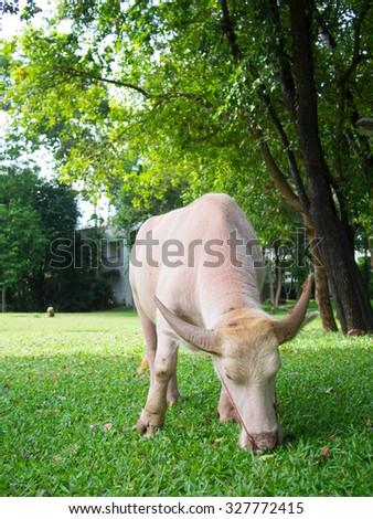 White buffalo trimming grass - stock photo
