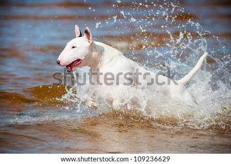 white bull terrier dog jumping in the sea - stock photo
