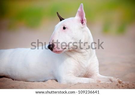 white bull terrier dog resting on the sand - stock photo