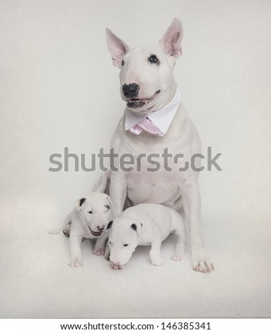 White bull terrier mom with her puppies and pink bow tie - stock photo