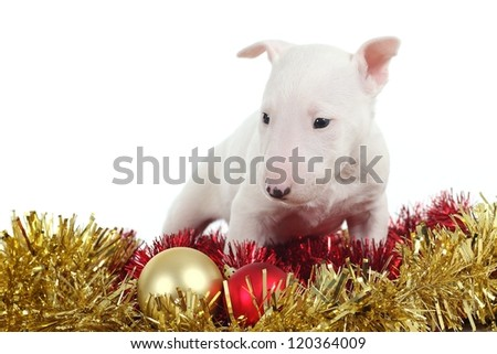White bull terrier puppy with christmas balls and garlands in a white isolated background - stock photo