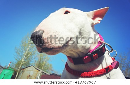 White bullterrier on a sky background - stock photo