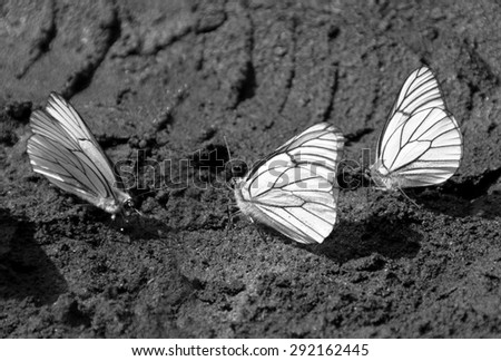 White butterflies drink of the water on the wet ground (black and white) - stock photo