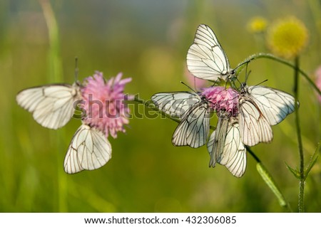 white butterfly Aporia crataegi on the pink clover