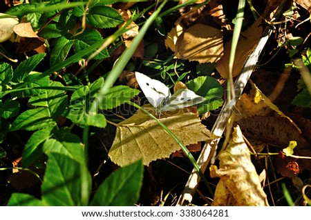 White butterfly - in Latin Pieris brassicae - among the fallen yellowed leaves under the sunlight. Selective focus at the butterfly. Shallow depth of field.  - stock photo
